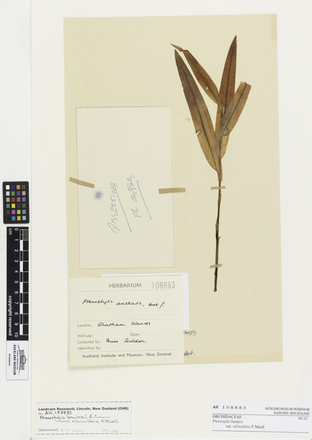 Pterostylis banksii silvicultrix, AK108883, © Auckland Museum CC BY