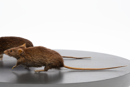 Rattus exulans, LM233, © Auckland Museum CC BY