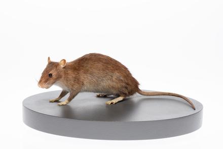 Rattus norvegicus, LM801, © Auckland Museum CC BY
