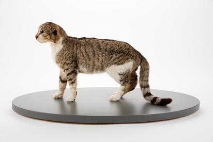 Felis catus; LM821; © Auckland Museum CC BY