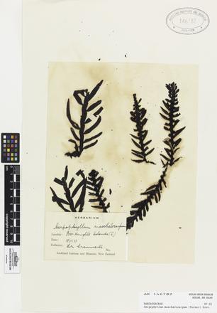 AK146782, Carpophyllum maschalocarpum, Photographed by: Linda Adams, photographer, digital, 10 Apr 2017