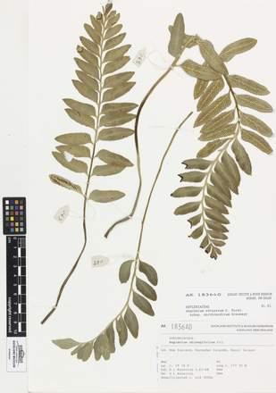 AK183640, Asplenium obtusatum northlandicum, Photographed by: Linda Adams, photographer, digital, 26 Apr 2017