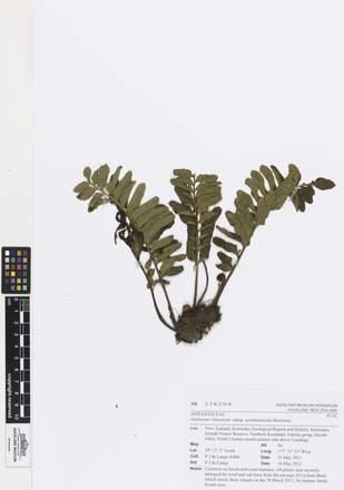 AK326204, Asplenium obtusatum northlandicum, Photographed by: Linda Adams, photographer, digital, 26 Apr 2017