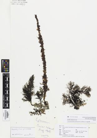 AK333180, Carpophyllum plumosum, Photographed by: Linda Adams, photographer, digital, 10 Apr 2017