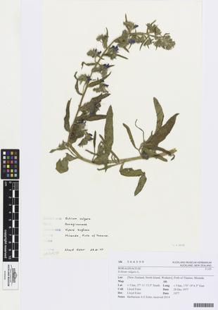 AK364359, Echium vulgare, Photographed by: Linda Adams, photographer, digital, 03 Apr 2017