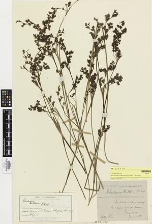 Machaerina arthrophylla; AK214179; © Auckland Museum CC BY