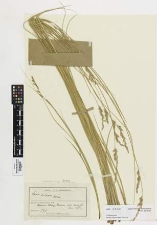 Carex kaloides, AK2500, © Auckland Museum CC BY