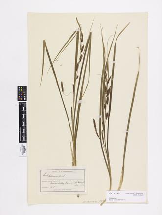 Carex coriacea, AK2584, © Auckland Museum CC BY