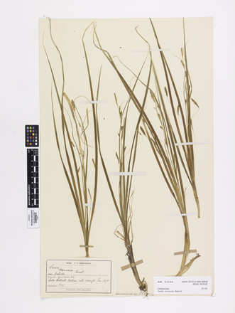 Carex coriacea; AK2594; © Auckland Museum CC BY