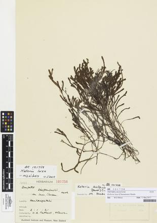 Kelleria laxa, AK101758, © Auckland Museum CC BY