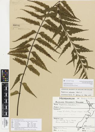 Asplenium polyodon, AK259750, © Auckland Museum CC BY