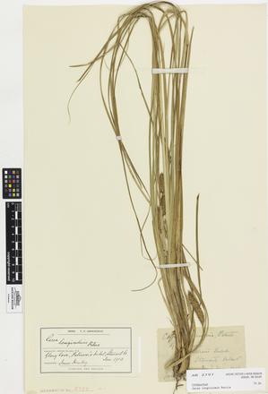Carex longiculmis; AK2797; © Auckland Museum CC BY