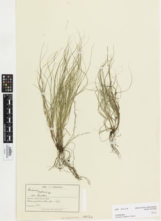 Uncinia banksii, AK2419, © Auckland Museum CC BY
