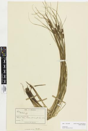 Carex testacea, AK2638, © Auckland Museum CC BY