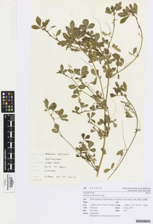Melilotus officinalis, AK364535, © Auckland Museum CC BY