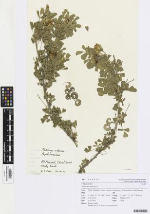 Medicago arborea, AK364537, © Auckland Museum CC BY