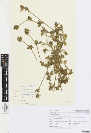 Trifolium striatum, AK364551, © Auckland Museum CC BY
