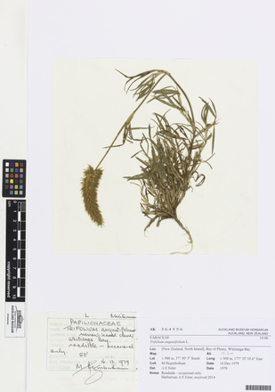 Trifolium angustifolium, AK364556, © Auckland Museum CC BY