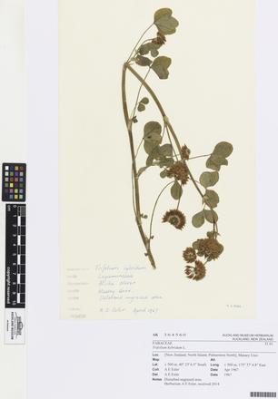 Trifolium hybridum, AK364560, © Auckland Museum CC BY