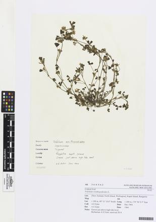 Trifolium ornithopodioides, AK364562, © Auckland Museum CC BY
