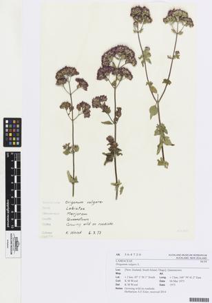 Origanum vulgare, AK364720, © Auckland Museum CC BY