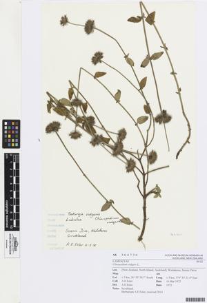 Clinopodium vulgare, AK364734, N/A