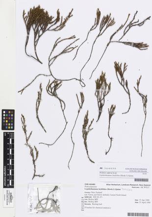 Lepidothamnus laxifolius, AK364950, © Auckland Museum CC BY