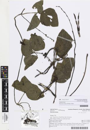 Pueraria lobata, AK365387, © Auckland Museum CC BY