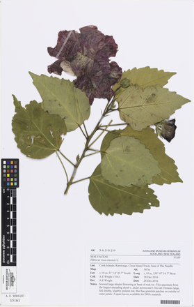 Hibiscus rosa-sinensis, AK365029, © Auckland Museum CC BY