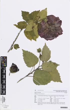 Hibiscus rosa-sinensis, AK365030, © Auckland Museum CC BY