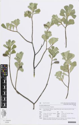 Corchorus torresianus, AK365200, © Auckland Museum CC BY