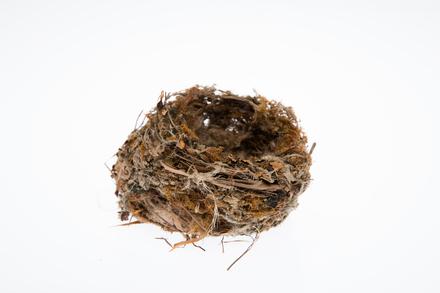 Fringilla coelebs, LB3781, © Auckland Museum CC BY