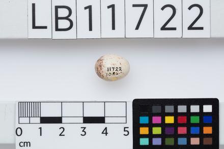 Gerygone igata modesta, LB11722, © Auckland Museum CC BY