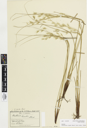 Chionochloa rigida rigida, AK1620, © Auckland Museum CC BY