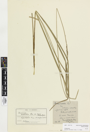 Uncinia uncinata, AK2373, © Auckland Museum CC BY