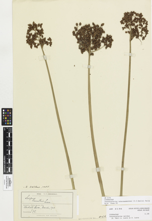 Schoenoplectus tabernaemontani, AK2156, © Auckland Museum CC BY