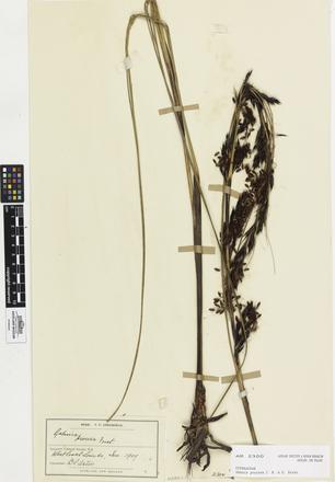 Gahnia procera, AK2300, © Auckland Museum CC BY