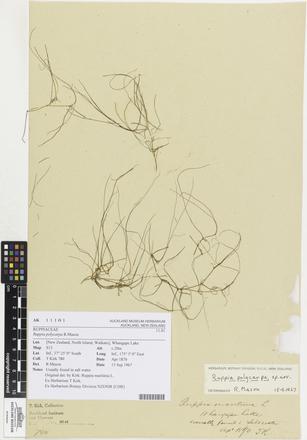 Ruppia polycarpa, AK11101, © Auckland Museum CC BY