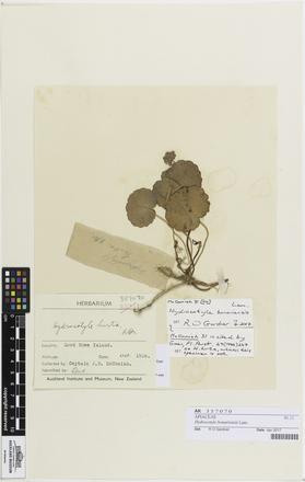 Hydrocotyle bonariensis, AK357070, © Auckland Museum CC BY