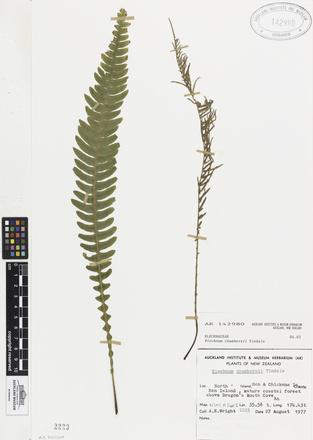 Blechnum chambersii, AK142980, © Auckland Museum CC BY