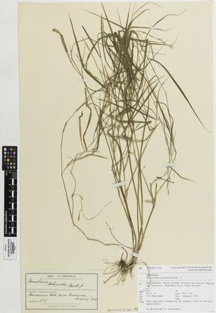 Microlaena polynoda, AK200134, © Auckland Museum CC BY