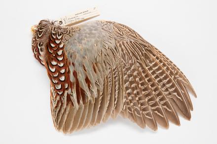Phasianus colchicus, LB3645, © Auckland Museum CC BY