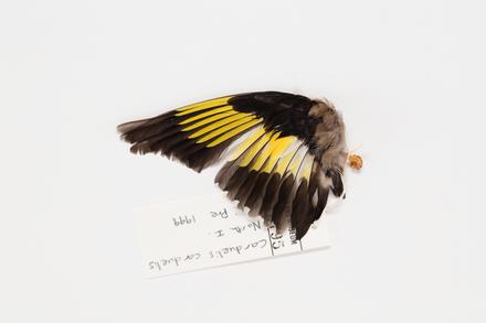 Carduelis carduelis, LB12795, © Auckland Museum CC BY