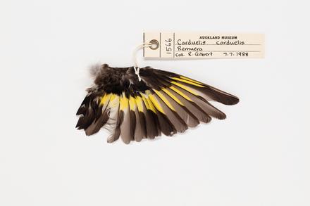 Carduelis carduelis, LB1566, © Auckland Museum CC BY