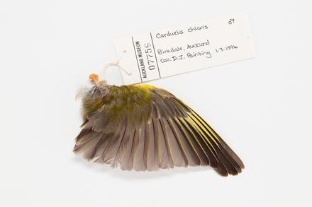 Carduelis chloris, LB7756, © Auckland Museum CC BY