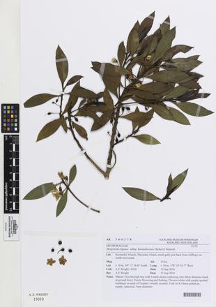 Myoporum rapense kermadecense, AK366378, © Auckland Museum CC BY