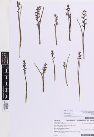 Prasophyllum, AK367921, © Auckland Museum CC BY