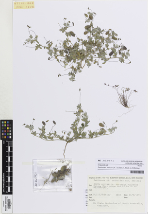 Swainsona sericea, AK365971, © Auckland Museum CC BY