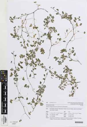 Oxalis thompsoniae, AK366355, © Auckland Museum CC BY