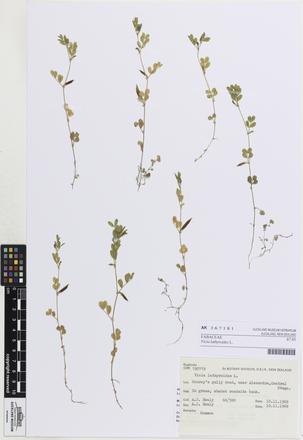 Vicia lathyroides, AK367181, © Auckland Museum CC BY
